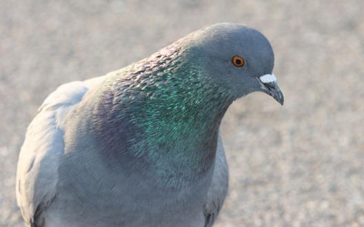 Pourquoi les pigeons se cachent ils pour mourir maganimaux - Se debarrasser des pigeons ...
