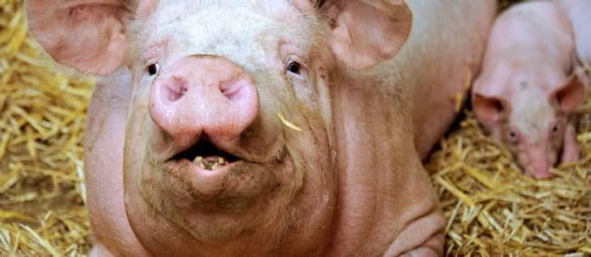 Le bien-être des animaux se paie-t-il dans nos assiettes ?