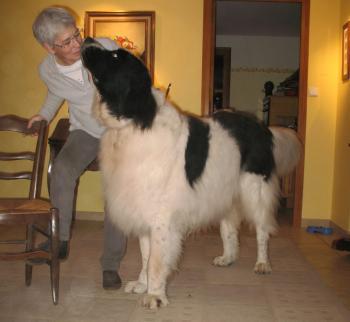 Sénergues. «Kéops», le chien géant, est la mascotte du village