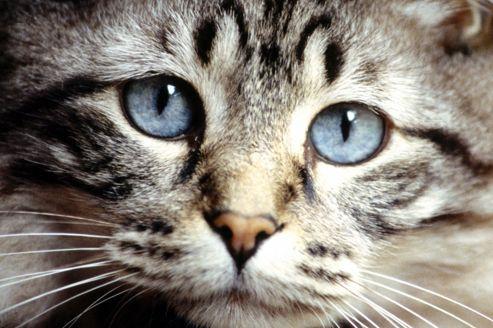 L'hypertension artérielle chez le chat