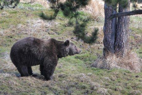 272 animaux tués par l'ours en 2012 dans les Pyrénées