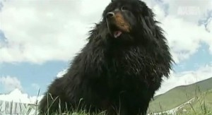Mastiffs du Tibet: le chien à un million de dollars
