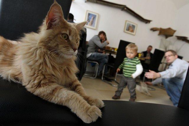 Un café à chats pourrait ouvrir à Paris