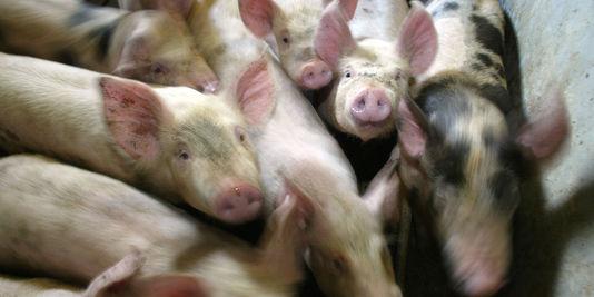 Une filière illégale d'antibiotiques pour animaux démantelée
