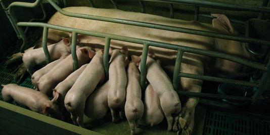 Filmer la cruauté envers les animaux, un crime aux Etats-Unis