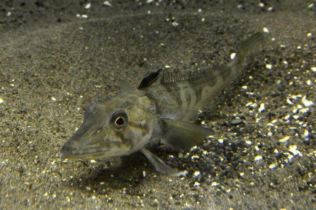Un «poisson glace» au sang transparent à l'aquarium de Tokyo