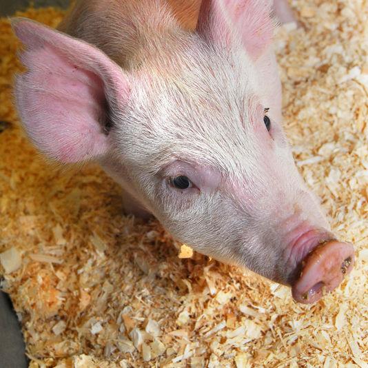 Les animaux génétiquement modifiés attendent leur heure