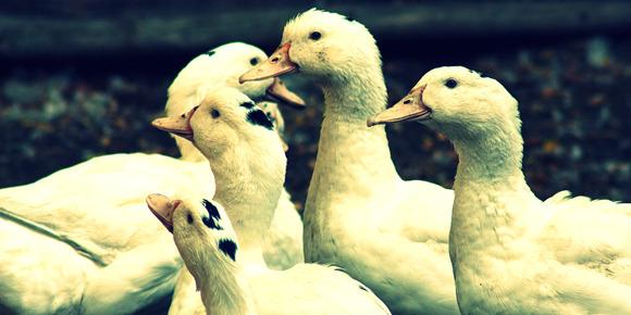 Animaux malades: cinq gaveurs de canards accusent
