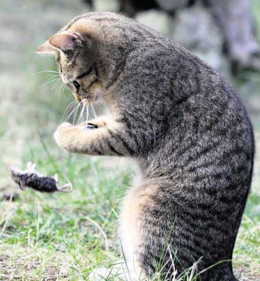 Le pipi de chat : une odeur vitale à la survie des souris