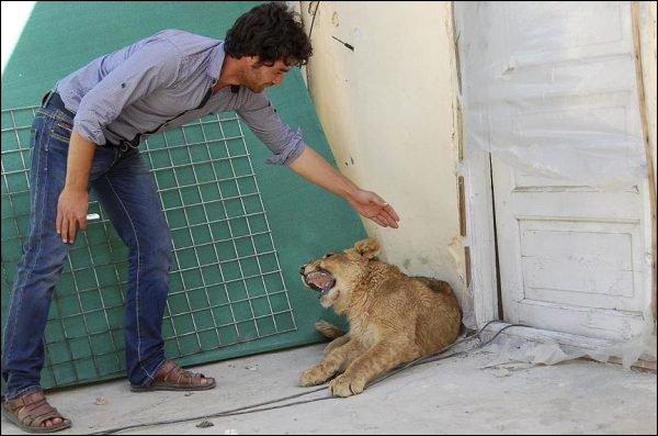 Un lionceau comme animal de compagnie