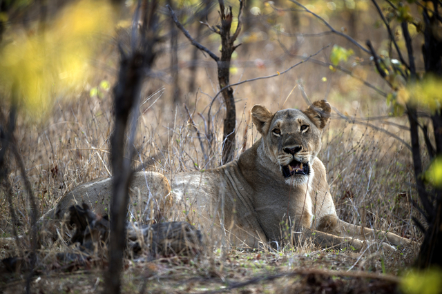 Lionne fugueuse en Afrique du Sud