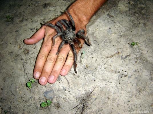 Une mygale géante, nouvel animal de compagnie à la mode