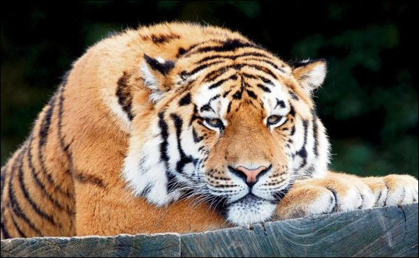 Exploitants et animaux des zoos tirent la langue