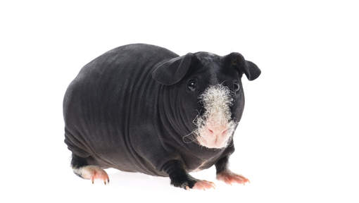 La nouvelle tendance? Adopter des animaux sans poils
