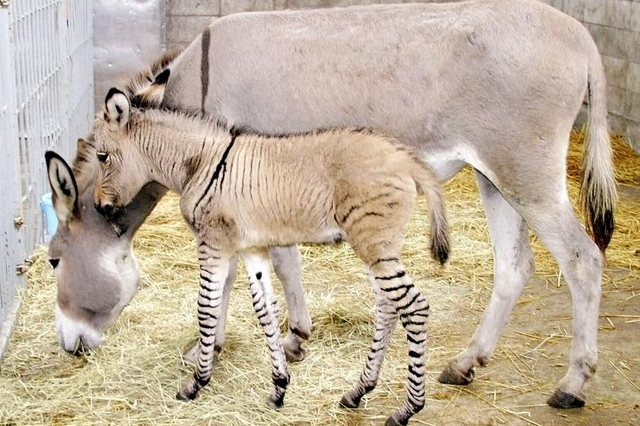 Ippo, le bébé «zonkey»