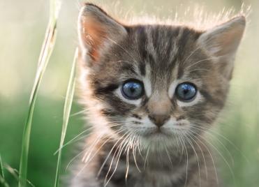 Bientôt un traitement efficace contre l'allergie au chat ?
