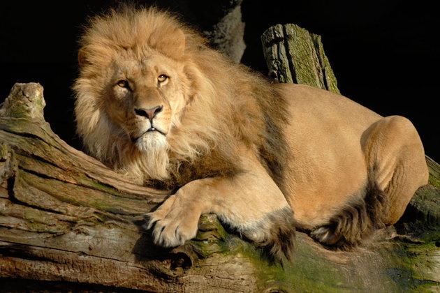 Le (faux) lion chinois aboyait