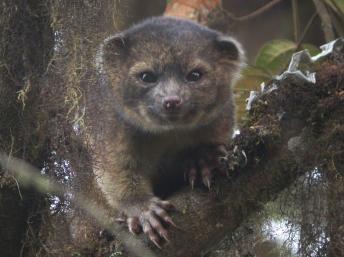 L'olinguito, une espèce carnivore inconnue découverte dans les Andes