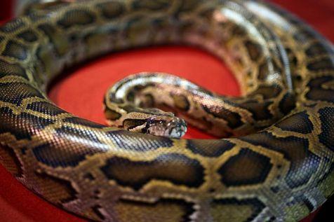 Canada: le python qui a tué 2 frères était un animal de compagnie