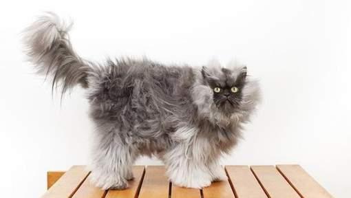 Le chat le plus poilu de la planète