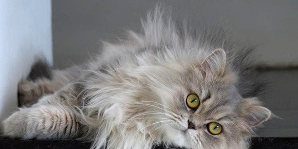 Iran: bientôt un chat persan dans l'espace ?