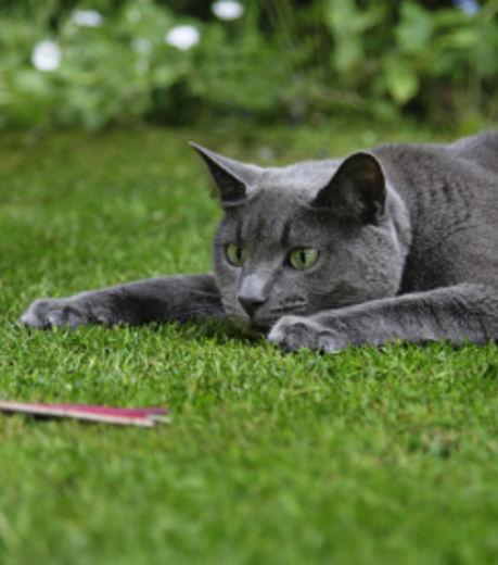 Indépendant, encore sauvage : le chat est 'mal élevé'