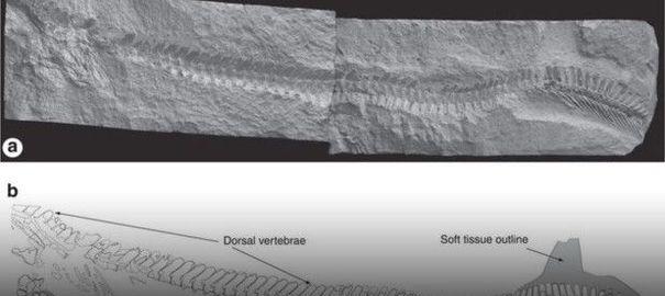 Découverte d'un fossile d'un animal préhistorique mi-lézard, mi-requin
