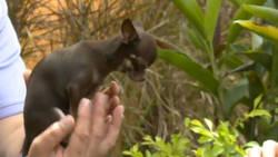 Le plus petit chien du monde s'appelle Miracle Milly !