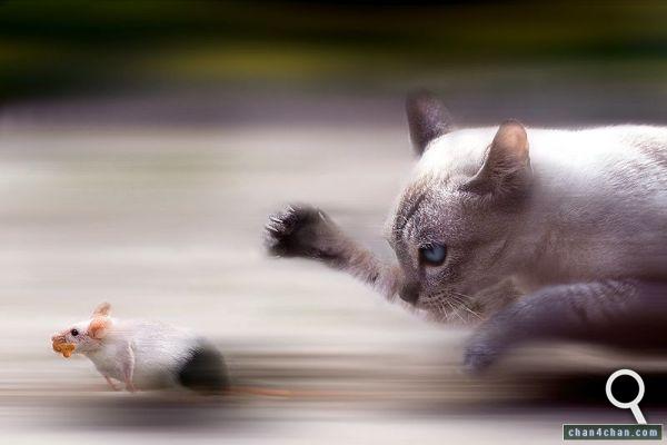 La toxoplasmose modifie en profondeur le jeu du chat et de la souris