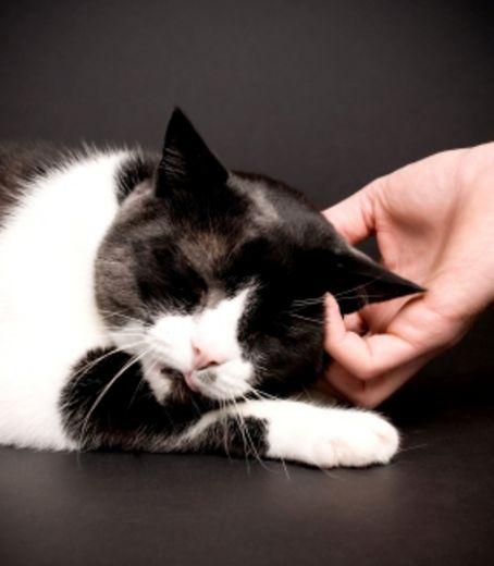Les caresses, une source de stress pour votre chat ?  En savoir plus: http://www.maxisciences.com/chat/les-caresses-une-source-de-stress-pour-votre-chat_art31015.html Copyright © Gentside Découvertes