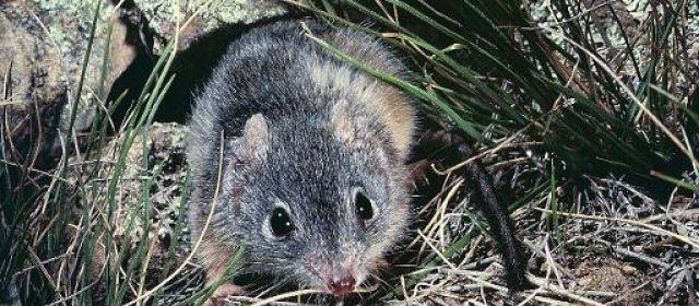 """Post coïtum, animal morte"" chez certains marsupiaux"
