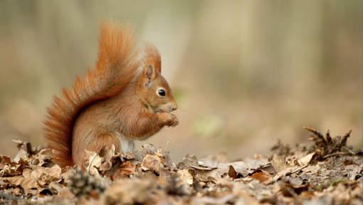 Les écureuils roux menacés par les humains et leurs animaux de compagnie