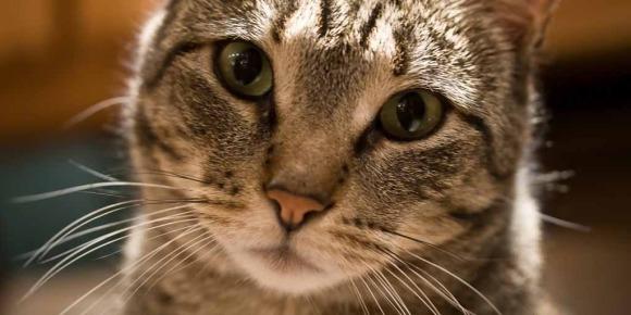 Votre chat vous entend, il choisit seulement de ne pas vous obéir