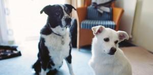 Les chiens domestiqués viendraient du continent européen