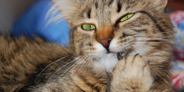 """Shiny, le chat """"diabolique"""" qui terrorise un village des Cornouailles"""