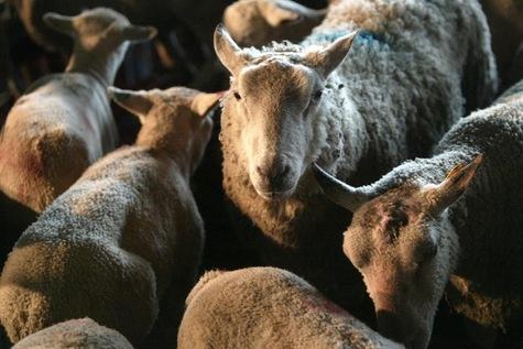 Religion > Actualité rss feed      imprimer     envoyer     favoris     lire  Le Danemark interdit l'abattage rituel des animaux