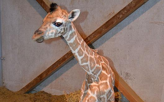 Scandale chez les défenseurs des animaux: Marius le girafon consanguin euthanasié ce matin