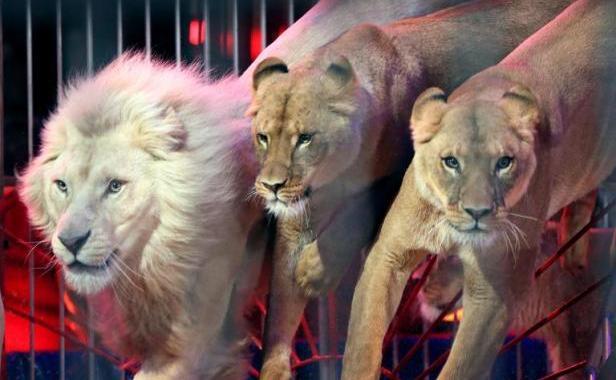Saint-Etienne: Une manifestation de défenseurs des animaux devant un cirque dégénère
