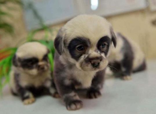 Le panda-chien, le nouvel animal qui va vous faire craquer !