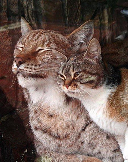 Le grand amour d'un chat et de son lynx-celot