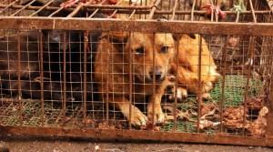 Chine : des défenseurs des animaux s'opposent à un festival de cuisine à base de chien
