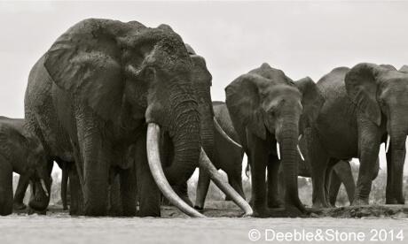L'un des plus grands éléphants d'Afrique tué par des braconniers