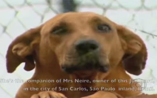Ce chien héroïque parcourt des kilomètres pour nourrir les animaux de son quartier