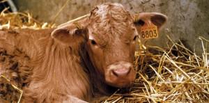 Le clonage d'animaux a-t-il bouleversé l'industrie agroalimentaire ?