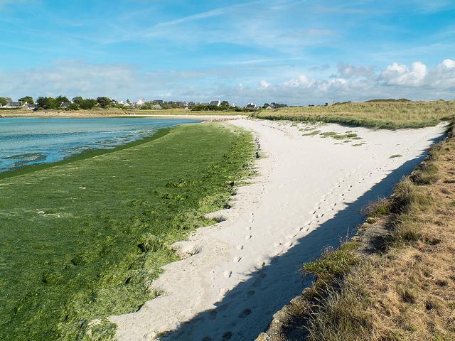 L'Etat responsable des décès d'animaux dus aux algues vertes