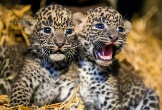 Deux panthères du Sri Lanka sont nées au zoo de Maubeuge