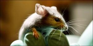 Moins d'animaux ont été utilisés en vivisection
