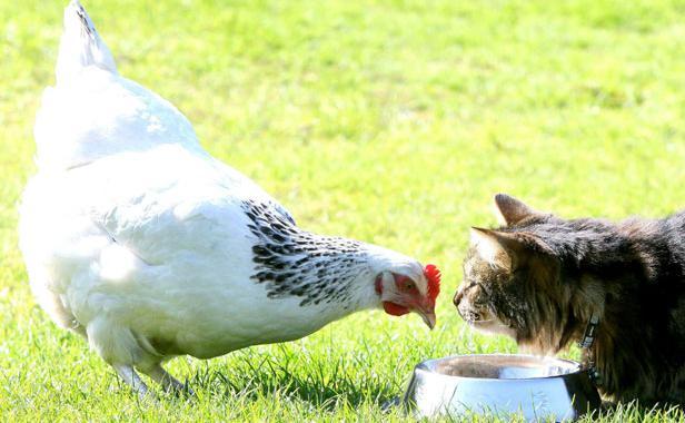 La poule, un animal de compagnie qui fait recette