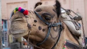 Le dromadaire du Rajasthan sacré animal d'Etat