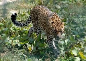 Inde: une femme tue un léopard avec une faucille